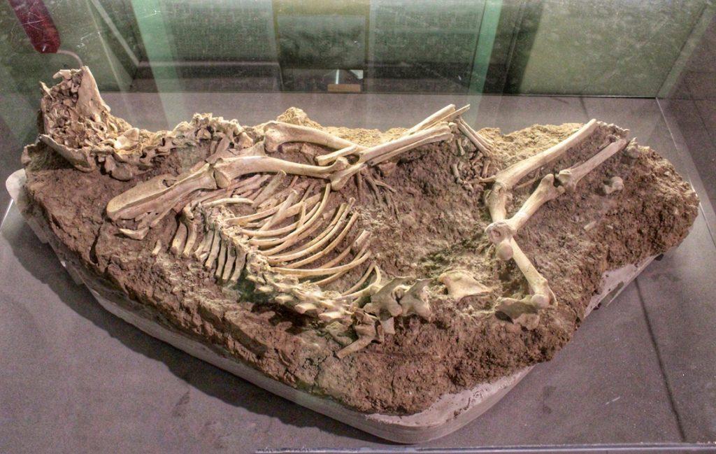 Scheletro di un cane al museo archeologico di Amelia